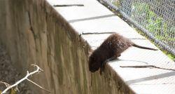 Com restaurantes fechados por causa da Covid-19, ratos passam a buscar comida de forma mais agressiva, diz agência de saúde dos EUA